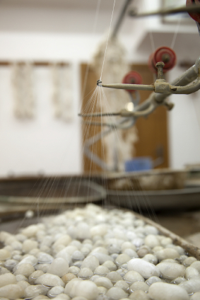 Silk Cocoons Being Reeled